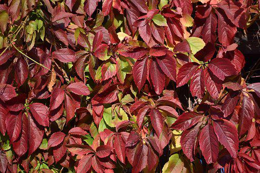 Autumn, Leaves, Red, Yellow, Plant, Flora, Garden