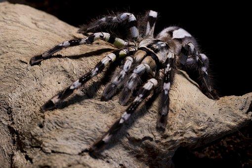 Tarantula, Spider, Poecilotheria, Regalis, Hairy