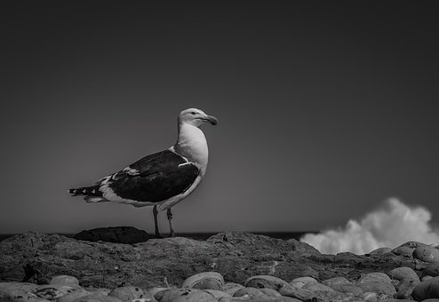 Seagull, Sea, Surf, Black And White, Freedom