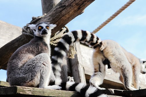 Lemur, Monkey, Animal, Cute, Animal World, Zoo, Sweet