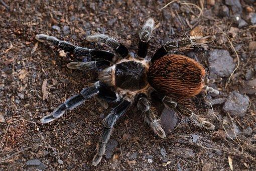 Tarantula, Brachypelma, Vagans, Mexican, Red, Rump