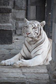 Tiger, White, Predator, Tawny, Nature, Portrait, Fur
