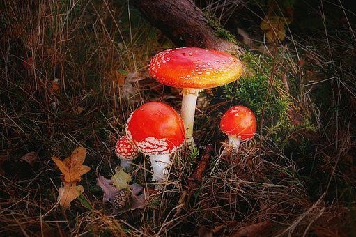 Fly Agaric, Forest, Nature, Toxic, Autumn, Red