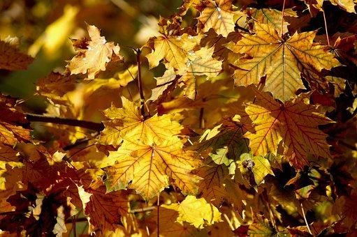 Autumn, Fall Leaves, Leaves, True Leaves, Maple