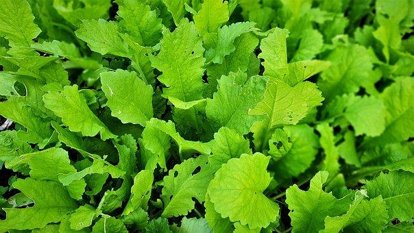 Greens, Free Leaf, Vegetables, Cold Or, Health