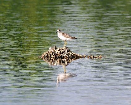Sand, Piper, Bird, Wild, Wildlife, Water, Reflection