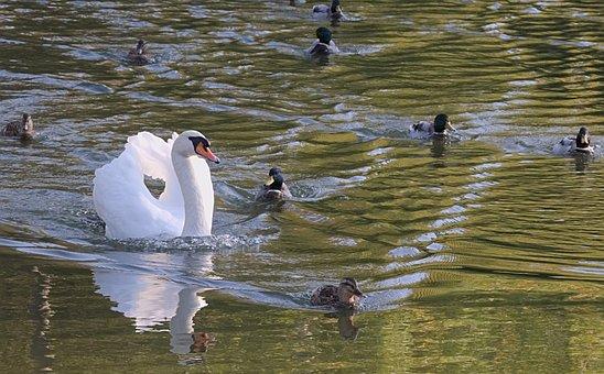 Swan, White, Entourage, Ducks, Swim