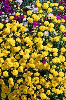 Flower Buds, Yellow Buds, Yellow Chrysanthemum, Bloom