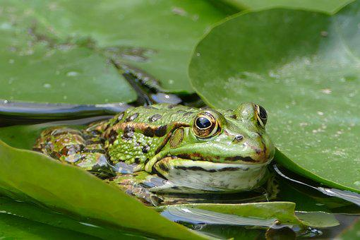 Frog, Green, Animal, Pond, Water, Poelkikker, Frog Pond