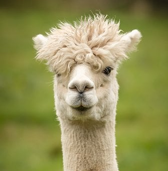 Alpaca, Animal, Portrait, Mammal, Head, Face, White