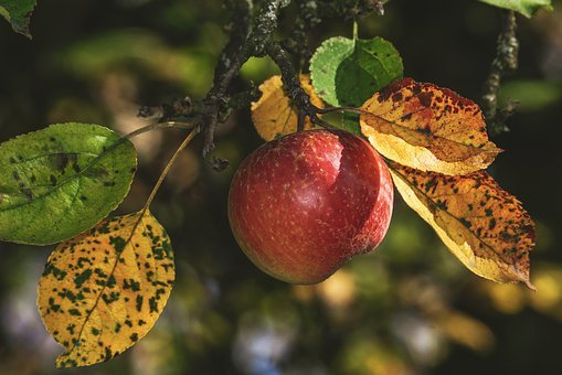 Apple, Red, Fall Foliage, Coloring, Healthy, Vitamins