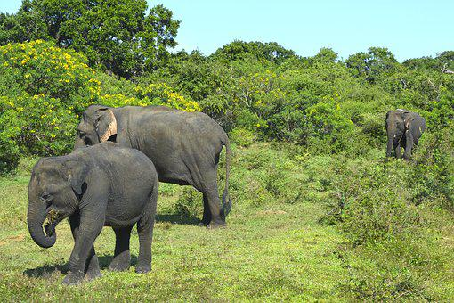Elephants, Animals, Nature, Safari, Asia, Landscape