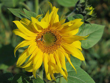 Sunflower In October, Autumn, Blossom, Bloom, Yellow