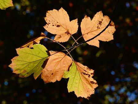Leaves, Fall Foliage, Tree Leaves, Backlighting, Autumn