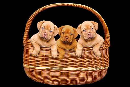 Animals, Dogs, Puppies, Basket, Bordeaux Mastiff, Cute