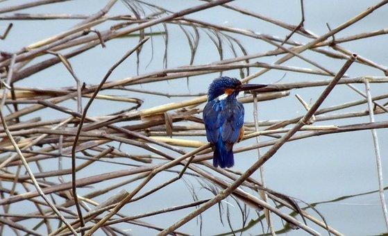Bird, Common Kingfisher, Alcedo Atthis