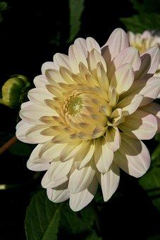 Blossom, Bloom, White, Dahlia, Petals, Bloom