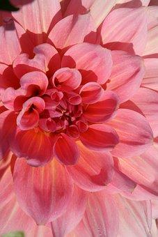 Blossom, Bloom, Dahlia, Pink, Petals