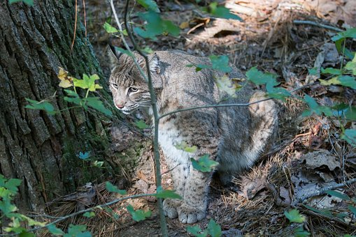 Bobcat, Wildlife, Virginia