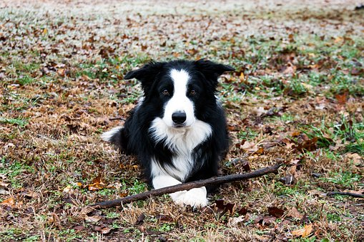 Border Collie, Border, Collie, Winter, Stick, Waiting