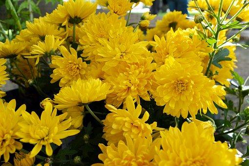 Chrysanthemum, Flowers, Nature, Greens, Yellow, Bouquet