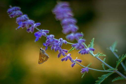 Butterfly, Lavender, Flower, Nature, Insect, Outdoors