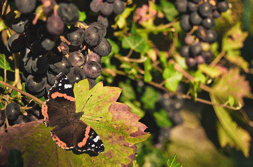 Butterfly, Grapes, Nature, Leaves, Vines