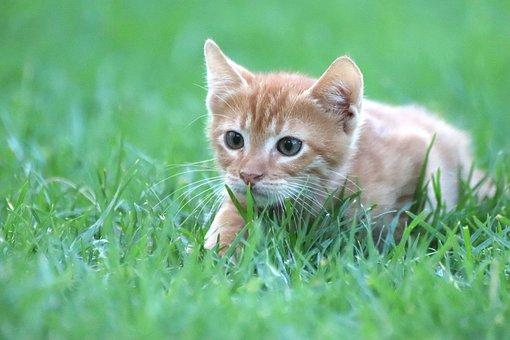 Cat, Animal, Mackerel, Red, Baby Cat, Sneak, Hunting