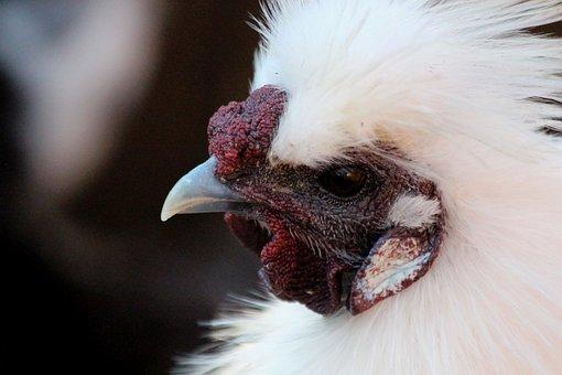 Chicken, Chinese Chicken, Silk Chicken, Bird
