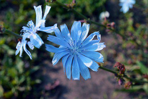 Chicory, Flowers, Field, Nature, Beauty, Blue Color