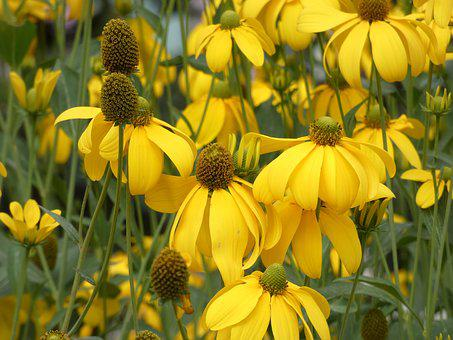 Rudbeckia, Asteraceae, Fauna, Composite, Fall, Summer