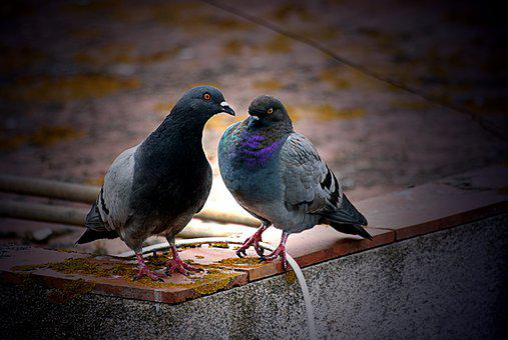 Pigeons, Corner, Terrace, Cable, Cantilever, Couple