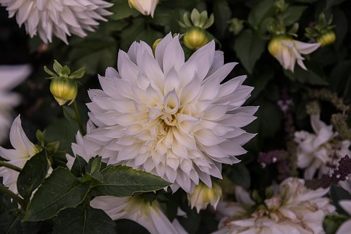 Dahlia, Blossom, Bloom, Flower, Plant, Flora, Bloom