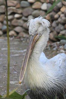 Pelican, Dalmatian Pelican, Bird, Anguila Anguila, Beak