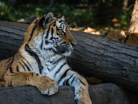 Tiger, Zoo, Animal World, Big Cat, Dangerous, Cat