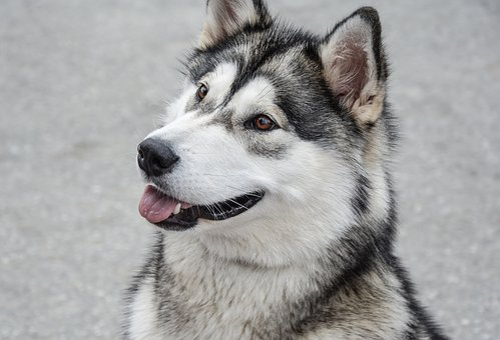 Dog, Alaskan, Malamute, Animal, Pet, Canine, Domestic