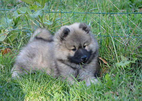 Dog, Puppy, Pup, Dog Eurasier Olaf Blue, Dog Eurasier