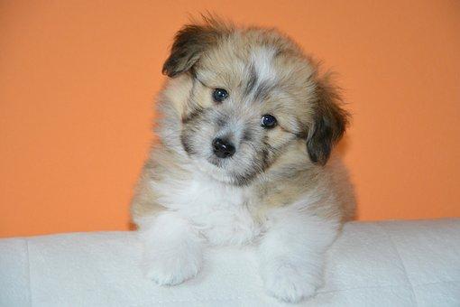 Dog, Pup, Dog Ouba, New Breed Cotland