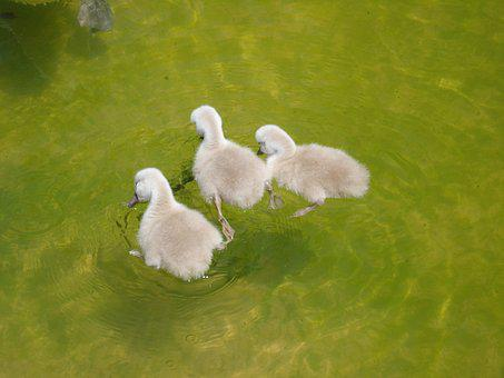 Birds, Ducklings, Cygnets, Swans, Animals, Nature