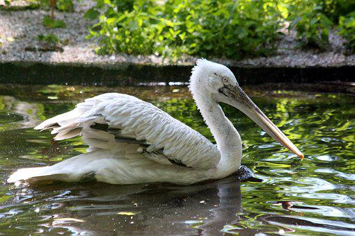 Pelican, Bird, Water, Pond, Wings, Feathered Race