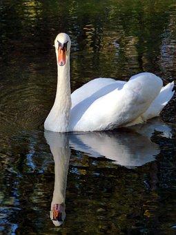 Swan, Beak, Nature, Bird, Water, Feathers, Majestic