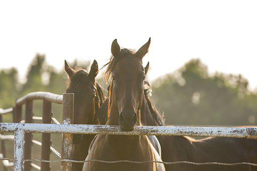 Horses, Fence, Country, Horse, Focus, Stare