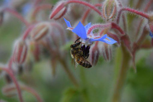 Bee, Borage, Summer, Flowers, Bloom, Herbs, Insect