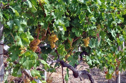 Grapes, Autumn, Fruit, Screw, Nature, Viticulture