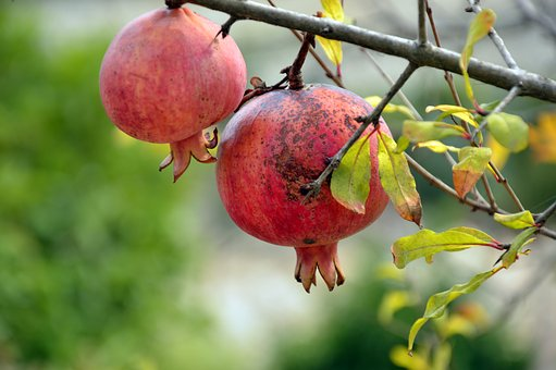 Pomegranate, Fruit, Plant, Tree, Branch, Nature, Food