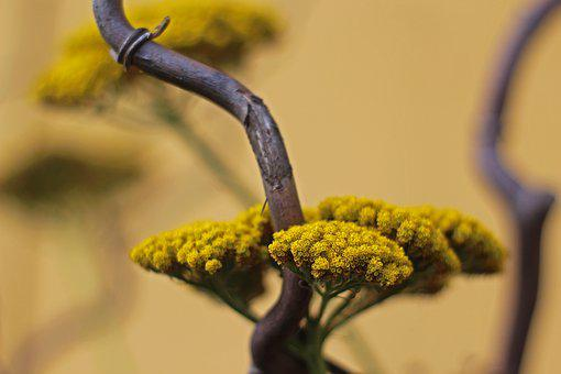 Decoration, Yarrow Flower, Nature, Flora, Garden, Plant