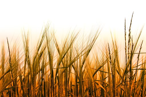 Wheat, Cereals, Field, Grain, Wheat Field, Cornfield