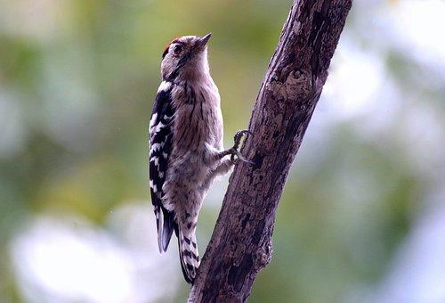 Great Spotted Woodpecker, Bird, Woodpecker, Bill, Log