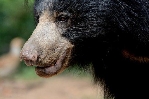 Sloth Bear Female, Daroji Sloth Bear Sanctuary, India