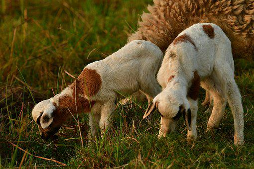 Goat, Kid, Lambs, Mammals, Flock, Nature